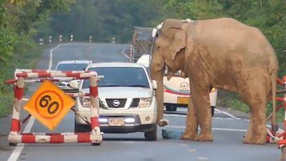 Hongerige olifant graait voedsel uit kofferbak pick-uptruck