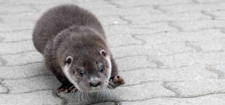 Ottersterfte in verkeer opnieuw naar record (maar dat maakt ook iets positiefs duidelijk)
