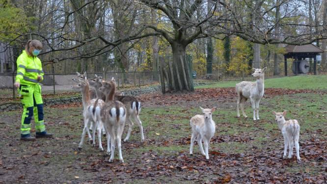 """Bosparkbambi's zijn publiekslievelingen in Lokers stadspark: """"Zeldzaam dat damhertjes in deze periode ter wereld komen"""""""