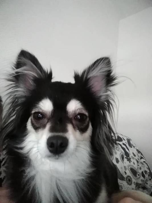 Chihuahua Kaylie.