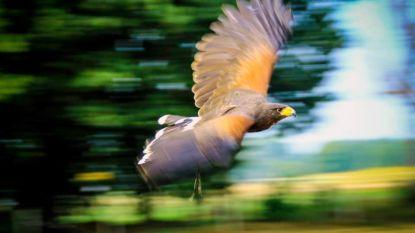 Opsporingsbericht: wie heeft de vogels van Lars Gentens gezien? Woestijnbuizerds vliegen wellicht in het Holsbeekse of Lubbeekse luchtruim…