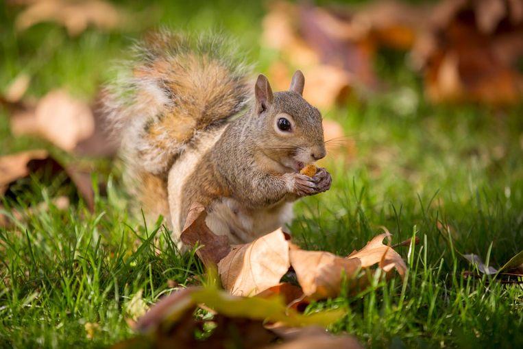 Eekhoorn. Beeld Getty Images - Rob Stothard