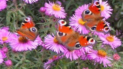 Natuurpunt Vlaamse Ardennen organiseert vlinderwandeling