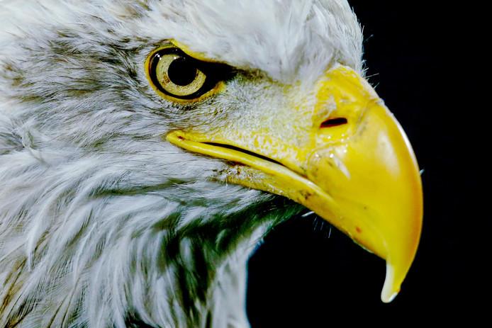 Adelaar Harley, de mascotte van GA Eagles.