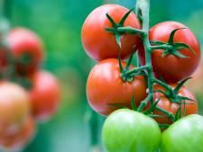 Glastuinbouw Nederland dwingt tot maatregelen tegen mogelijk plantenvirus