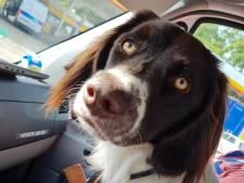 Baasje van op A1 gevonden hond meldt zich bij Hengeloër Ton: 'Guusje ging op avontuur'