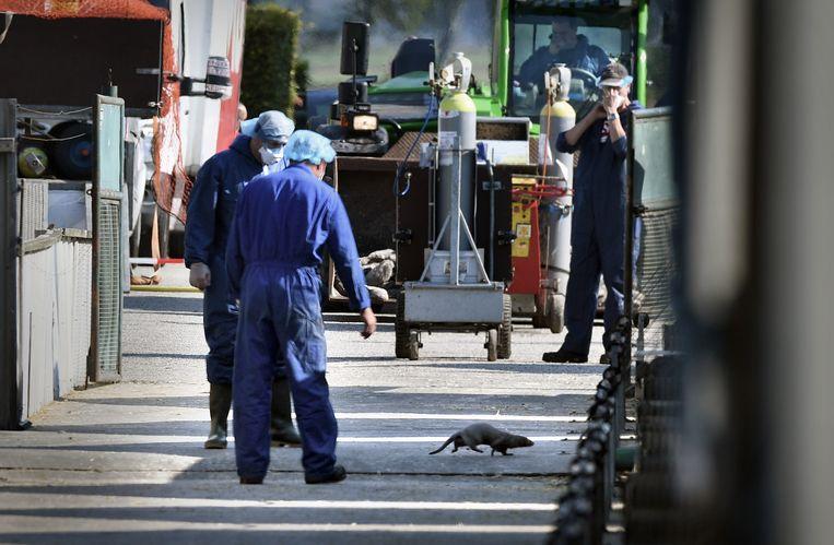 Een besmette nertsenfokkerij in Gemert-Bakel wordt geruimd. Beeld Marcel van den Bergh / de Volkskarnt