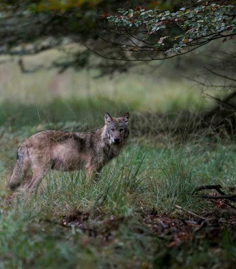 Is er een wolf in Kranenburg? Onderzoek naar drie doodgebeten schapen