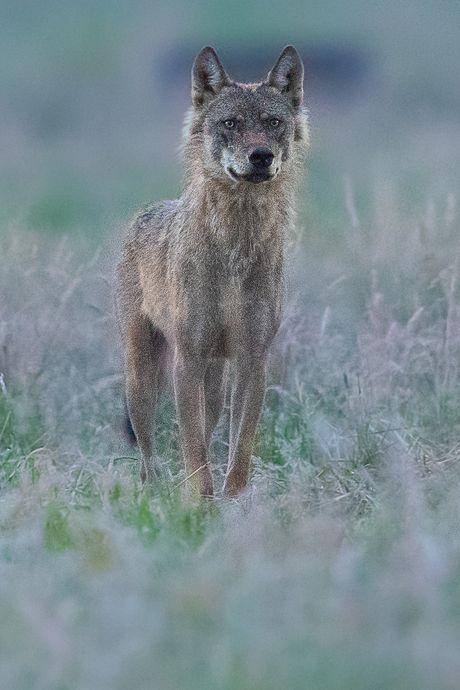 Killerwolf Billy die toesloeg in de Achterhoek en Brabant 'doodgeschoten in Frankrijk'