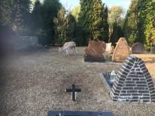 Buurt jaagt bronstig hert naar kerkhof, dierenarts komt met geweer naar Haalderen