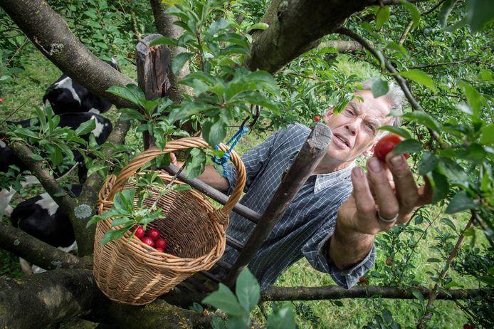 Thijs Banken op de ladder om wat krozen te plukken in zijn boomgaard in Boven-Leeuwen.