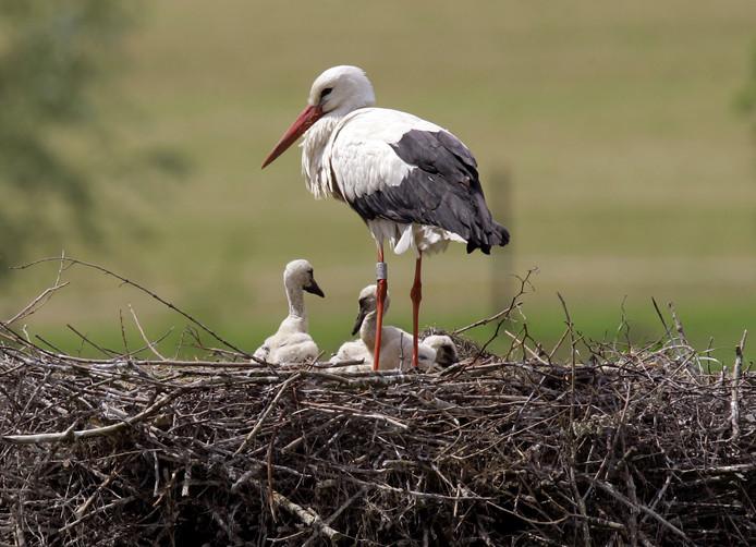 Een ooievaar met haar jonge kuikens op het nest.