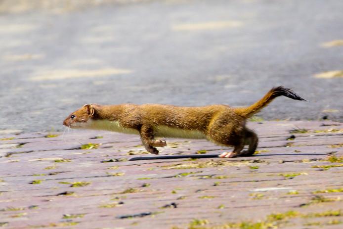 Hermelijn in actie.