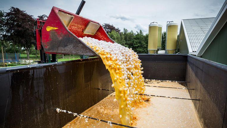 Eieren worden op last van de NVWA vernietigd bij een pluimveehouder. Beeld ANP
