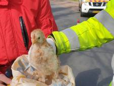 Sierkippen in dichtgeknoopte vuilniszak gedumpt in Nijkerk: 'Helaas maken we dit vaker mee'
