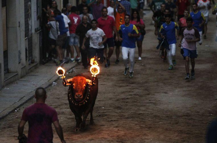 Een 'toro embolado', een stier met ontvlambaar materiaal aan zijn hoorns, in Meliana, vlakbij Valencia, begin augustus. Beeld afp