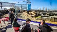Zeeleeuwen wennen aan nieuw zwemparadijs: Sea Life neemt bassin van 500.000 euro in gebruik