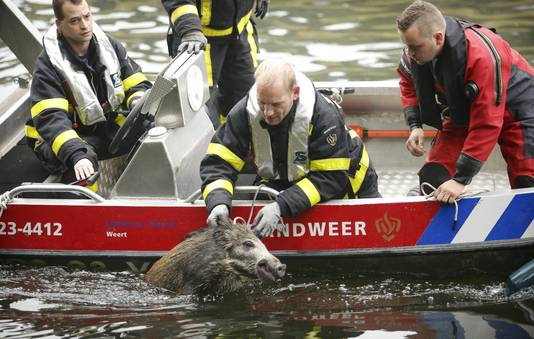 Een brandweerman redt een wild zwijn uit het water in de Zuid-Willemsvaart.