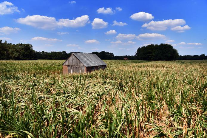 De gevolgen van de aanhoudende droogte in Nederland was vorig jaar goed te zien. Veel gewassen verdorden.