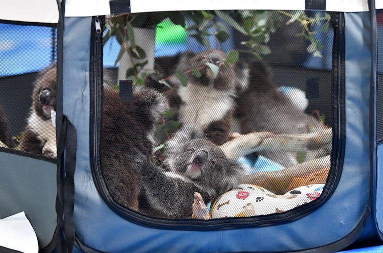 Weeskoala's worden worden opgevangen in Adelaide.