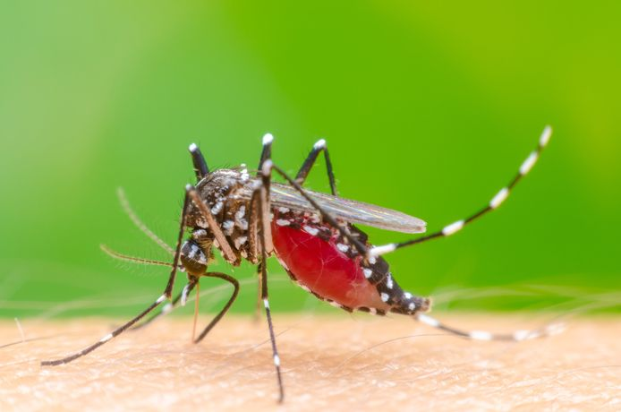 De Aedes aegypti.