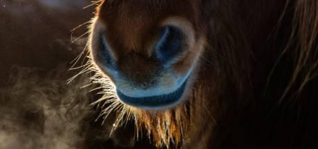 Taakstraf voor vrouw uit Den Ham (70) die 8 pony's verwaarloosde