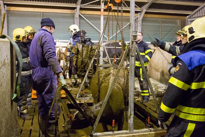 Op een Madese boerderij redt de brandweer vier koeien uit de gierkelder nadat ze door de vloer waren gezakt.