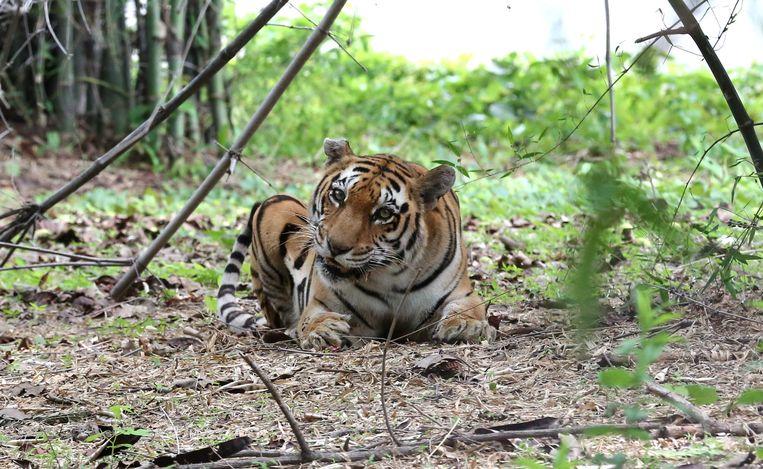 Een Bengaalse tijger in Van Vihar National Park in Bhopal, India, 14 juli 2019.