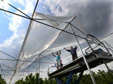 Suzuki's fruitvlieg een plaaggeest voor Hekendorpse kersenteler