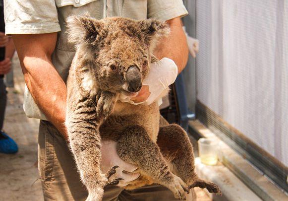 Een geredde koala wordt opgevangen in de dierentuin van Sydney.