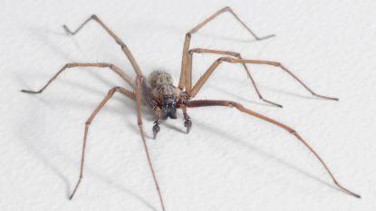 Als je een spin doodmept in huis zorgt dat enkel voor meer spinnen: alles wat u (liever niet) wou weten over spinnen