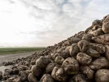Verbod op zaadcoating nekt teelt suikerbieten: vergelingsziekte steekt de kop op