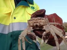 Oh crab! Dit liep 's avonds doodleuk door het centrum van Zwolle