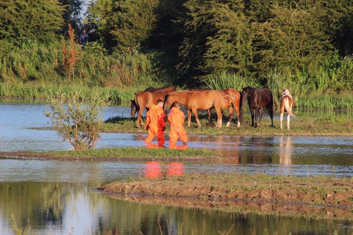 Het is nog onduidelijk hoe de zes paarden op het eilandje terecht zijn gekomen.