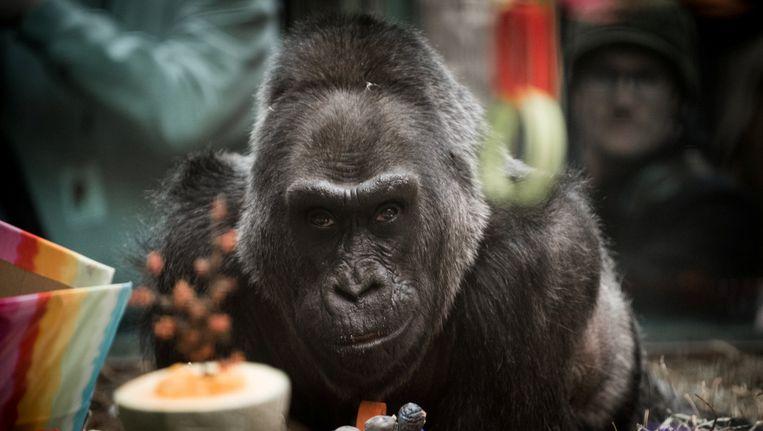 Colo op haar zestigste verjaardag in Colombus Zoo in Ohio. Beeld reuters