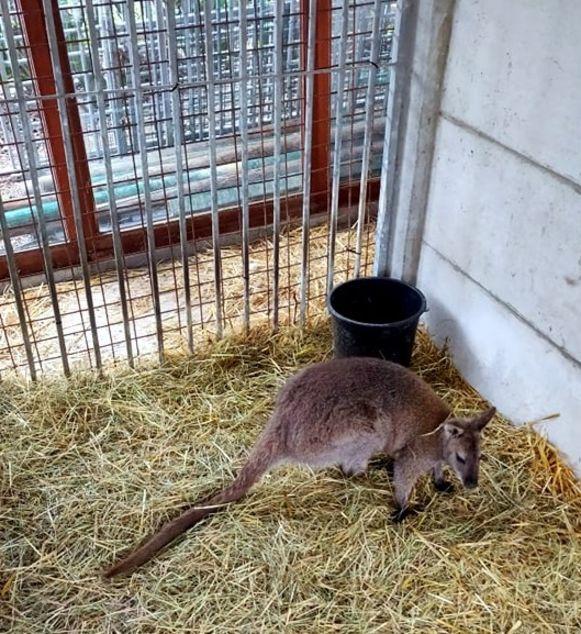 De wallaby bekomt van zijn avontuur in het opvangcentrum De ark van Pollare.