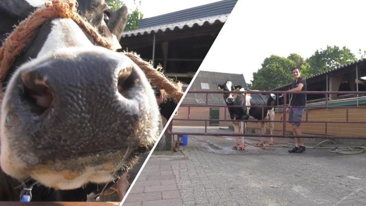Is Cindy de mooiste koe van Nederland?