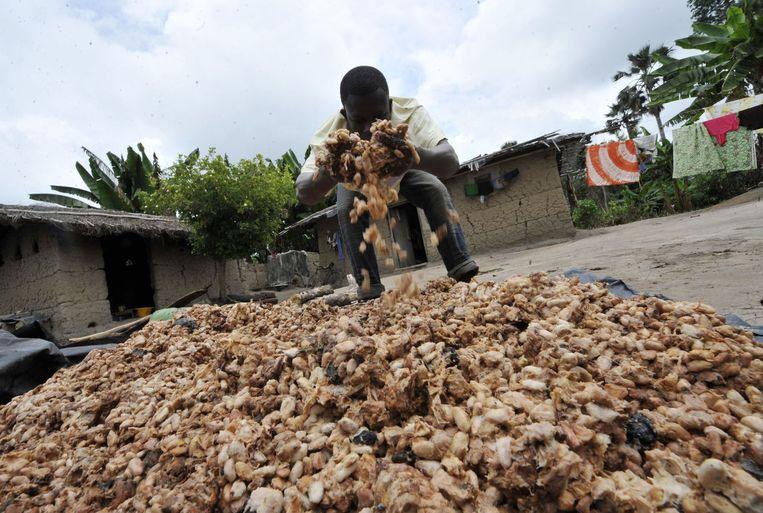 Een Afrikaanse boer inspecteert zijn cacaobonen. Landbouwraden helpen deze ondernemers vaak met hun bedrijfsvoering. Beeld ANP