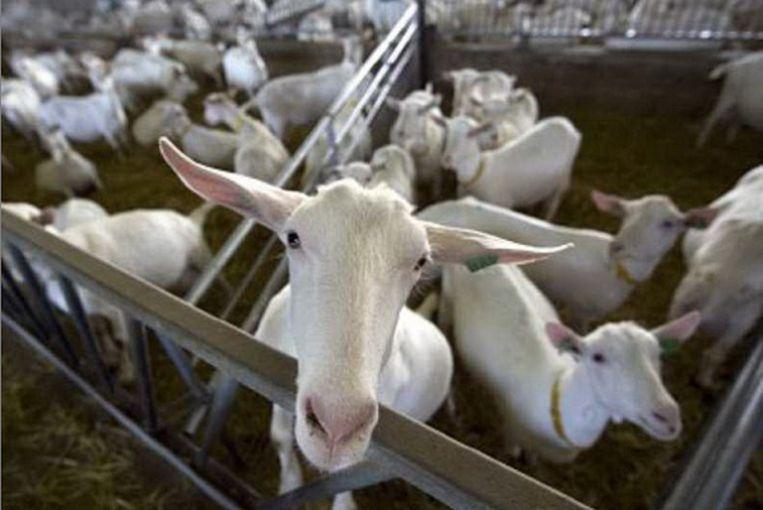 Een jaar geleden: geiten in het melkgeitenbedrijf Hoon in Etten Leur in afwachting om als eersten gevaccineerd te worden tegen Q-koorts. (ANP) Beeld