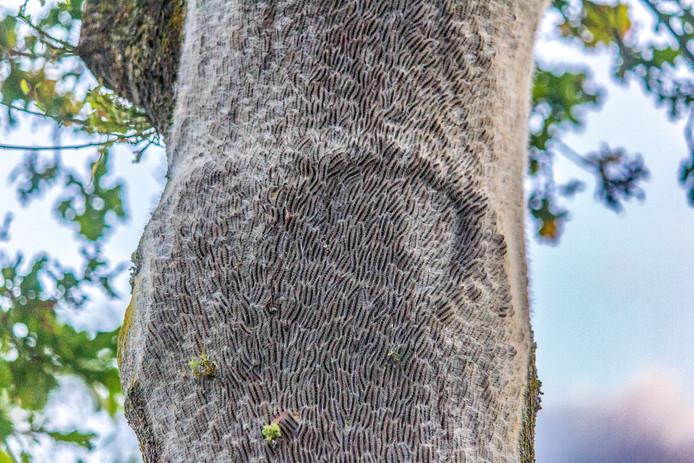 Een boom in Hengelo die compleet onder de Eikenprocessierups zit.