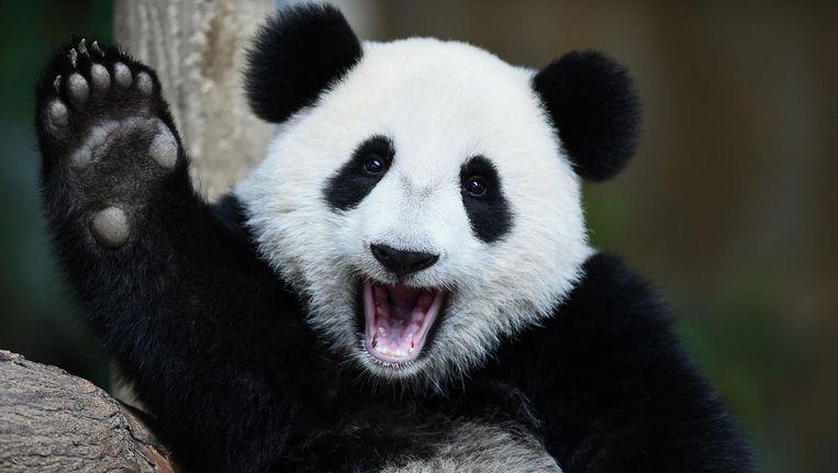 Lykele van der Broek: 'Op de keper beschouwd zouden panda's eigenlijk moeten uitsterven.' Beeld null