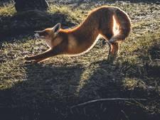 Amsterdamse vos bezorgt Mylène 1,5 miljoen Instagram-likes