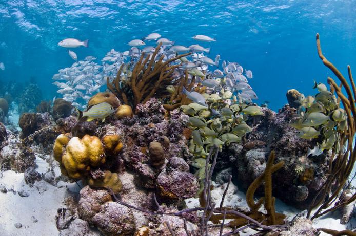 Vissen en koraal in een natuurreservaat bij Belize.