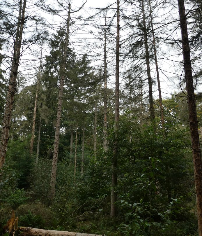Dode sparren in het bos, zoals hier in Sparrenrijk in Boxtel.