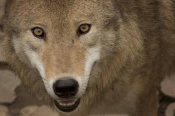 Wolf. Foto: ANP