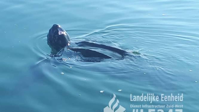 Bijzonder bezoek in Oosterschelde: 2,5 meter grote lederschildpad gespot
