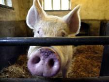 Minder varkens in Oost-Brabant, meer ruimte voor innovatie