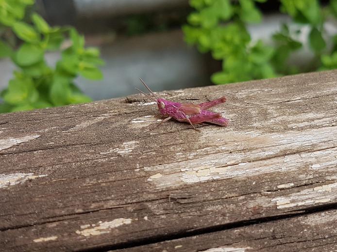 roze sprinkhaan in Deventer