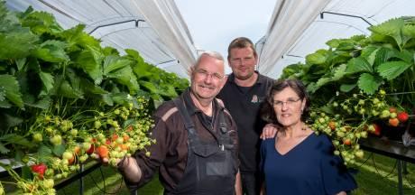 Gerrit Bronsink uit Oene zit al 48 jaar in de aardbeien, maar kan nog wat leren van zijn zoon
