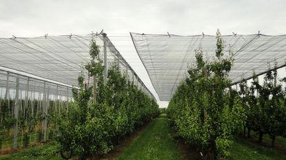 Automatische netten en buienradar beschermen Limburgse peren